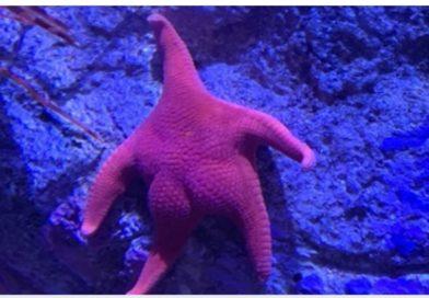 Gays Bioengineer New Big Bottom Starfish Species